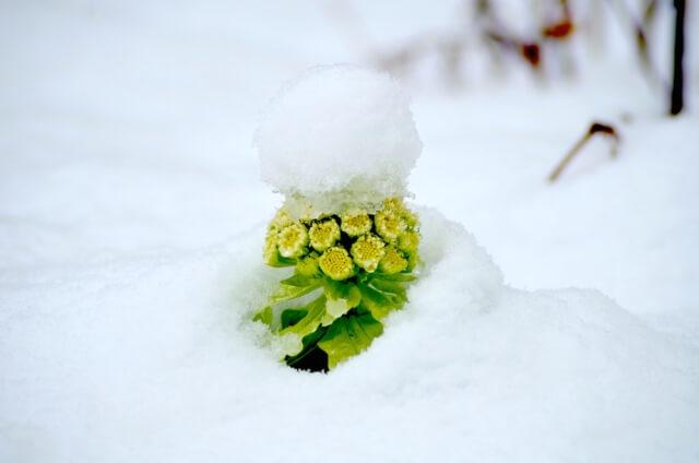 雪とフキノトウ